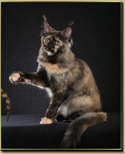 Maine coon kittens for sale phoenix az