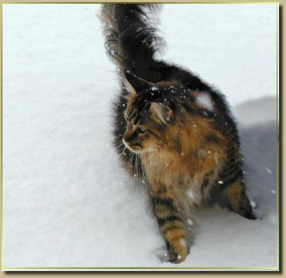 Our Maine Coon Retired Show Cats Amp Alumni San Diego Ca