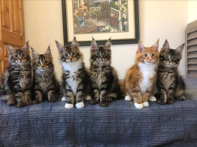 Maine Coon Kittens Southern California