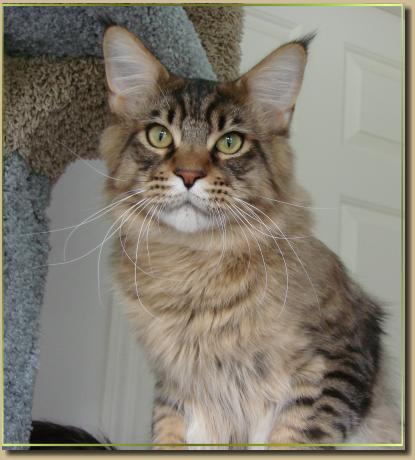 boho chic hairstyles_24. maine coon cat