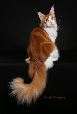 What's New at Cascade Mountain Maine Coons