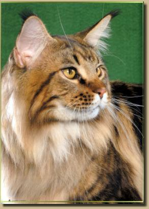 Maine coon cats edmonton ab