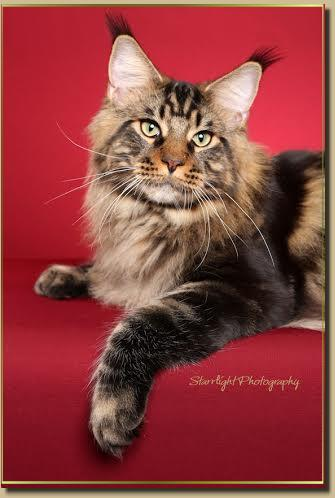 Maine Coon Show Cats Cascade Mountain Coons